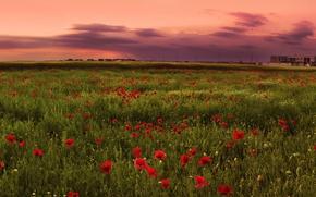 Картинка маки, закат, поле, розовый