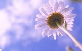 Обои цветы, природа, облака, небо, ромашка, цветок