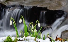 Картинка снег, цветы, весна, подснежники