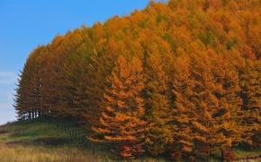 Обои деревья, Осень, лес, япония