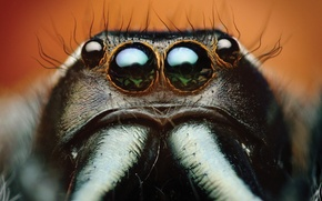 Картинка spider, eyes, macro, animal, Bagheera, spider Central America, Bagheera Kiplingi