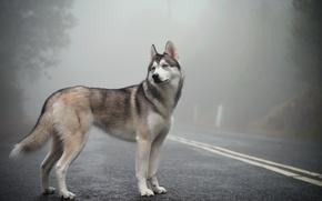 Картинка fog, mist, siberian husky
