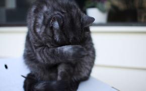 Картинка кошка, кот, сидит, полосатый, cat, моется