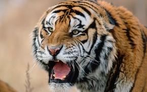 Обои сибирский, тигр, хищник, морда