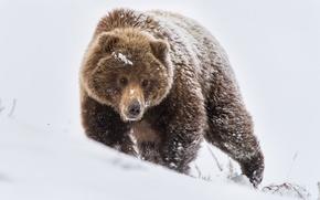 Картинка зима, снег, природа, медведь