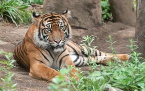 Картинка кошка, трава, тигр, суматранский