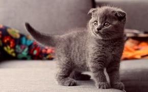Картинка глаза, взгляд, котенок, серый, Кошка, стоит