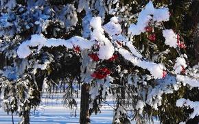 Картинка снег, Зима, ягода, шапки, рябина, Сибирь