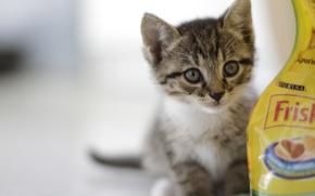 Картинка взгляд, котенок, серый, фон, корм