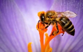 Картинка цветок, пчела, тычинки, насекомое