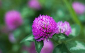 Картинка flower, macro, bokeh, clover