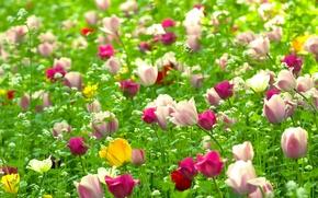 Обои поле, цветы, природа, растения, весна, Тюльпаны