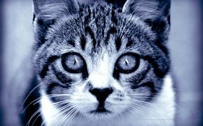 Обои взгляд, Кошка, хищник, глаза