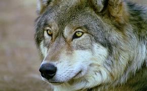 Картинка глаза, взгляд, морда, Волк