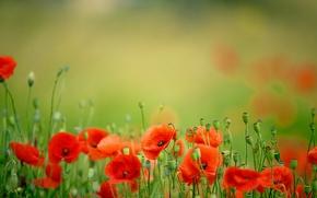 Картинка поле, цветы, природа, маки, весна, лепестки