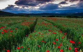 Картинка поле, небо, трава, облака, маки, колея, колосья