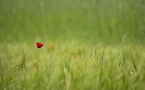 Обои красный, размытость, один, поле, мак, Цветок