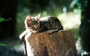 Обои животные, коты, пушистые, кошки