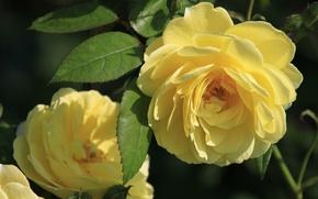 Картинка листья, розы, лепестки