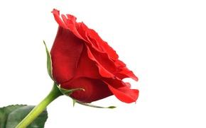 Картинка обои, роза, лепестки, стебель, бутон