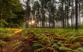 Картинка лес, деревья, папоротник, лучи солнца