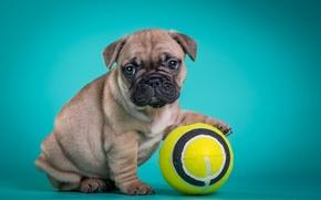 Картинка мяч, щенок, французский бульдог