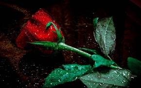 Обои цветок, капельки, роза, бутон