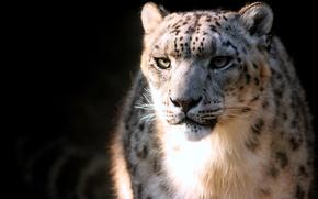Обои пятна, хищник, ирбис, Snow Leopard, снежный барс