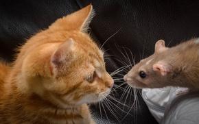 Картинка кот, усы, кошак, рыжий, крыса, котяра