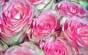 Обои цветы, розы, природа