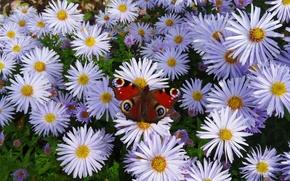 Картинка природа, бабочка, nature, butterfly, астры