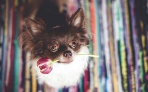 Картинка друг, тюльпан, собака