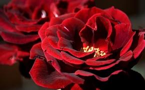 Обои лепестки, бархатная, макро, роза
