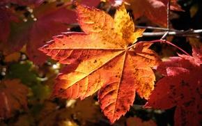 Обои макро, лист, осень, macro nature