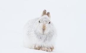 Картинка winter, mountain, snow, wildlife, hare