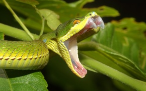 Картинка змея, гадюка, Белогубая куфия