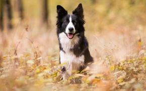 Картинка осень, лес, собаки, парк, бордер-колли, обои от lolita777