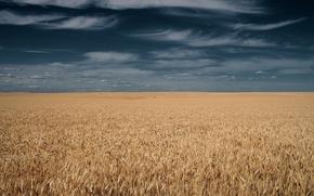 Картинка поле, небо, тучи, горизонт, колосья