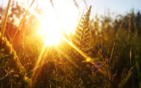 Обои солнце, макро, тысячелистник, закат