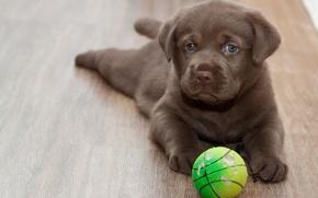 Картинка взгляд, друг, мяч, пол, щенок, лабрадор