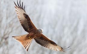 Картинка свобода, полет, птица, крылья, взмах, Красный коршун