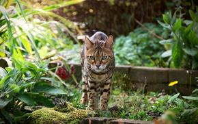 Обои лето, взгляд, Бенгальская кошка