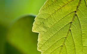 Обои листок, макро, зелень, природа