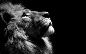 Картинка черно белое, Лев, lion, animal
