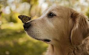 Обои бабочка, крылья, собака, нос