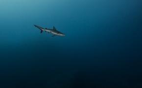 Картинка море, хищник, акула, глубина, под водой
