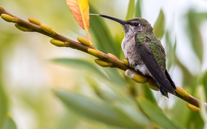 Картинка макро, лист, птица, ветка, колибри, почки