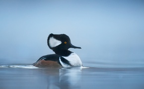 Картинка lake, duck, wildlife, hooded merganser