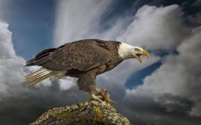 Картинка птица, хищник, сук, Белоголовый орлан