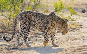 Обои леопард, хищник, свет, мощь, красавец, дикая кошка, пятна